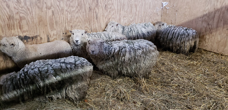 ewes-at-hog-heaven