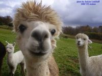 Great photo of the alpaca