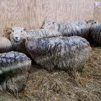 ewes-at-hog-heaven.jpg